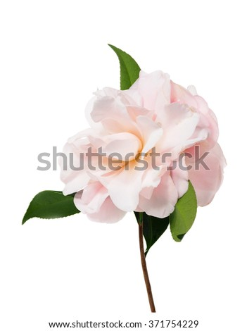 Extreme Depth of Field Photo of a Camellia Blossom with Dew Isolated on White          - stock photo