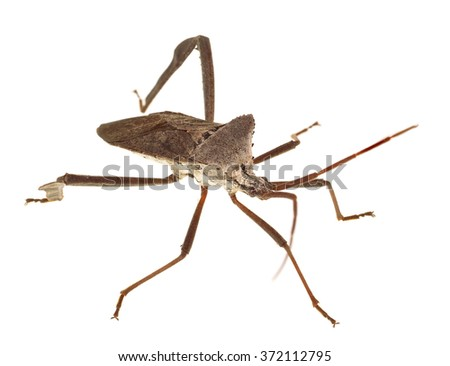 Extreme Depth of Field Photo of Florida Leaf-Footed Bug Isolated on White - stock photo