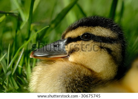 Extreme macro closeup of Mallard duckling against Spring foliage - stock photo