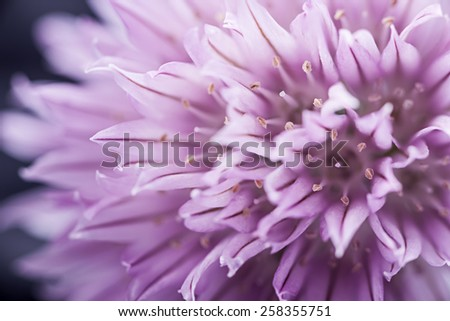 Extreme macro closeup of purple chive flower - stock photo