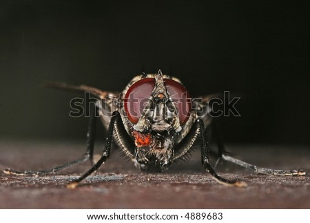 extreme macro magnification of a fly, frontal view
