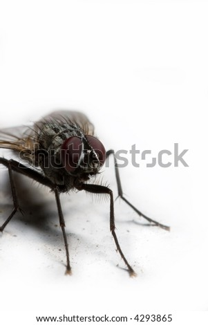 extreme macro of a housefly in white background