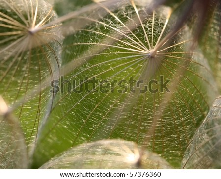 Extreme Macro of Dandelion Seeds in Backlit - shallow DOF on one seed fibers - stock photo