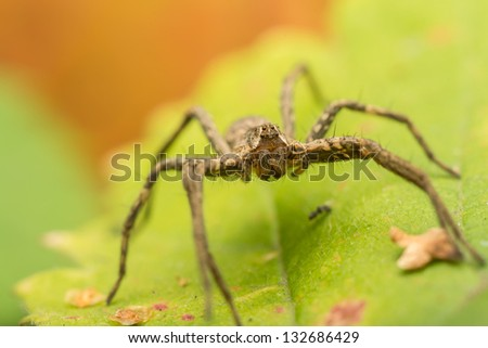 Extreme Macro Photo Of A Nursery Web Spider Portrait - stock photo