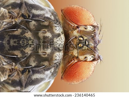 Extreme sharp and detailed macro of Drosophila melanogaster fruut fly - stock photo