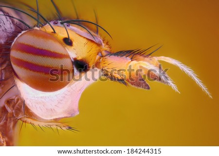 Extreme sharp and detailed study of fly head taken with microscope objective stacked from many shots into one very sharp photo - stock photo