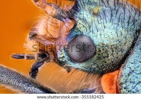 Extreme sharp and detailed study of Malachius bipustulatus (Melyridae) stacked from many images into one very sharp photo - stock photo