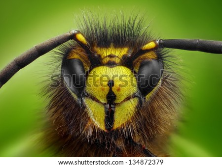 Extreme sharp and detailed study of wasp head taken with microscope objective stacked from many shots into one photo - stock photo