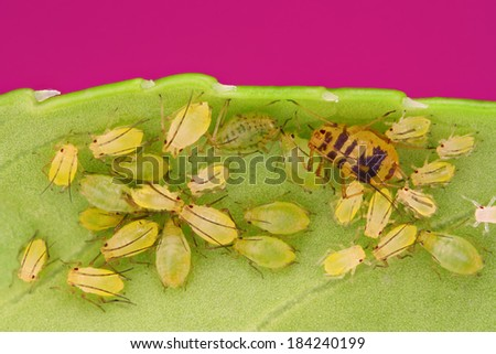 Extreme sharp and detailed view of Green aphids on leaf taken with macro objective stacked from many photos into one very sharp image.  - stock photo