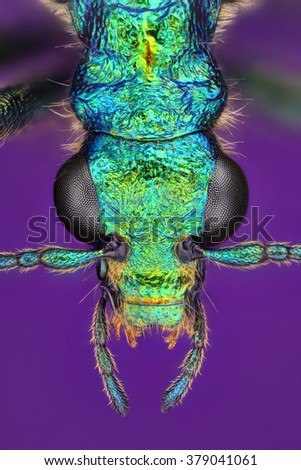 Extreme sharp closeup of Chrysanthia viridissima insect viewed under macro lens with high power magnification stacked from more images into one sharp photo.