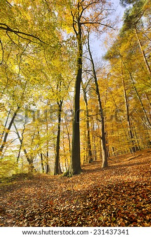 extreme wide-angle shoot of an autumn beech forest