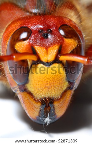 Extremely close-up of a live European Hornet (Vespa crabro) head. Macro shot with shallow dof. - stock photo