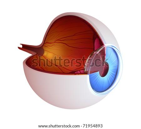 Eye anatomy - inner structure isolated on white - stock photo