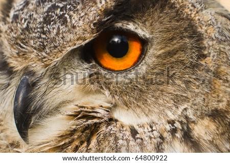 eye close up eagle owl - stock photo