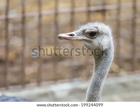 eye contact from ostrich in zoo