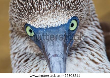 Eye contact with a blue-footed booby, Galapagos Islands, Ecuador - stock photo