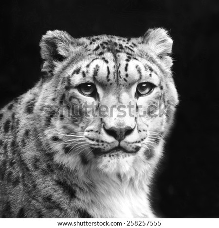 Eye contact with excellent snow leopard, isolated on black background. Adorable big cat, but dangerous raptor. Picturesque portrait of animal. Amazing beauty of wildlife in black and white image. - stock photo