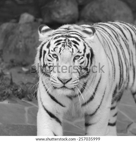 Eye contact with excellent white tiger. Adorable big cat, but dangerous raptor. Picturesque monochrome portrait of expressive and mighty animal. Amazing beauty of wildlife in black and white image. - stock photo