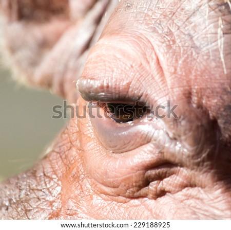 eye hippo - stock photo