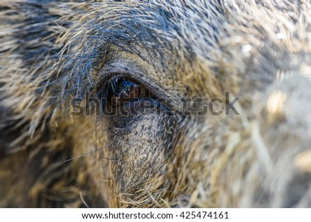 Eye in eye with a wild boar