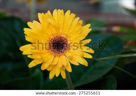 Eye level view of a yellow- orange Gerbera flower in bloom after rain in the shade. - stock photo