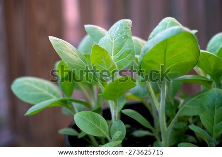 Eye level view of a young tobacco plant being grown in a container on an overcast morning. - stock photo