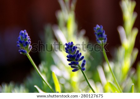 Eye level view of three lavender flowers before blooming with shallow depth of field. - stock photo