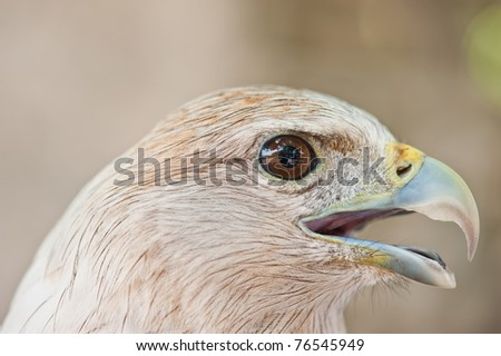 Eye of Brahminy Kite (Red-backed Sea Eagle)