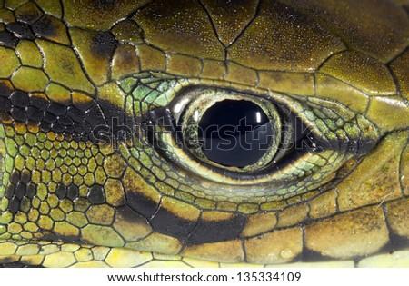 Eye of Golden Tegu (Tupinambis teguixin), Ecuador. - stock photo