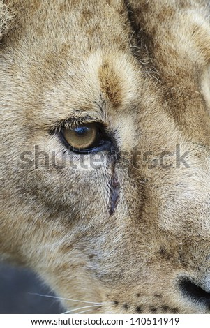 eye of lioness very close up - stock photo
