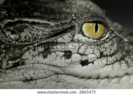 Eye of the crocodile - stock photo