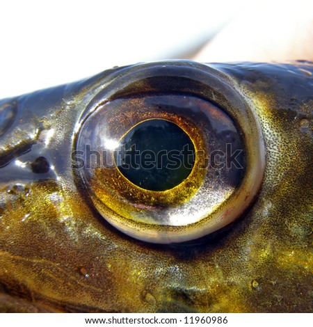 eye of the pike - stock photo