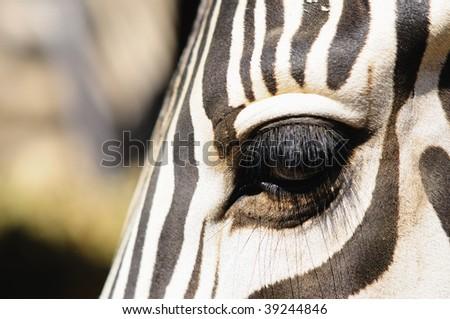 Eye of zebra. White(target) and black - stock photo