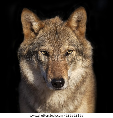 Eye to eye portrait with grey wolf female on black background. Square image. Beautiful and dangerous beast of the forest. - stock photo