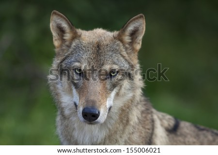 Eye to eye portrait with grey wolf female on green background. Horizontal image. Beautiful and dangerous beast of the forest. - stock photo