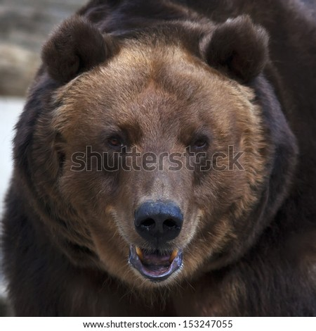Eye to eye with a brown bear. The head of a grizzly, the most dangerous and biggest beast of the world. Wild beauty of the cute and cuddly animal. Charm of the wildlife. - stock photo