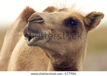 Eye to eye with a camel - stock photo