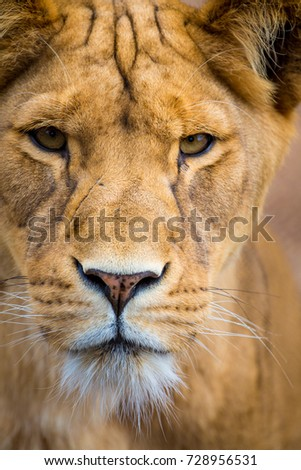 Eye to eye with a lion