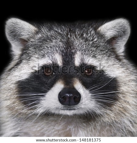 Eye to eye with a raccoon. Cute face of a calm and peaceful animal. Beautiful portrait of a curious beast. - stock photo