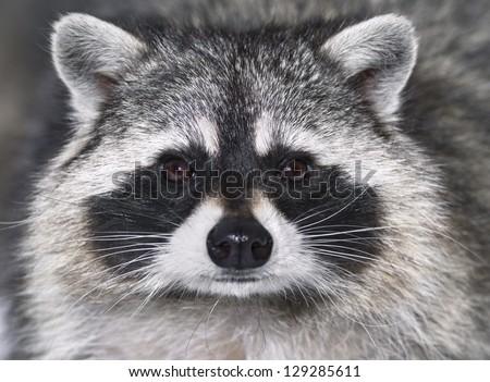 Eye to eye with raccoon - stock photo