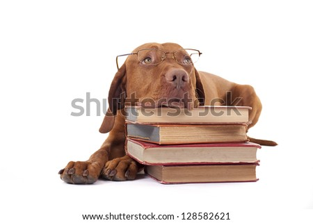eye-wear wearing golden color pure breed dog laying on floor resting head on a pile of books - stock photo