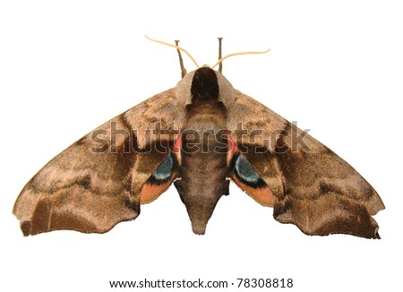 Eyed Hawk Moth isolated on white - stock photo