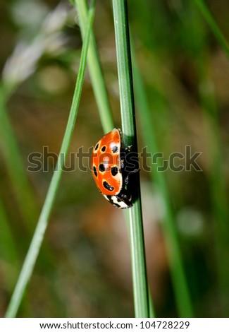 eyed ladybird anatis ocellata upside down - stock photo