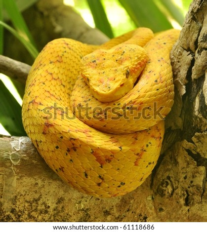 Eyelash viper resting - stock photo