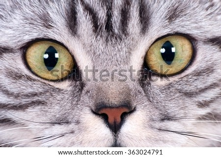 Eyes closeup of a silver tabby cat