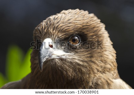 Eyes looking of the eagle (Black kite, Pariah kite)