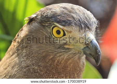 Eyes looking of the eagle (Crested serpent-eagle)