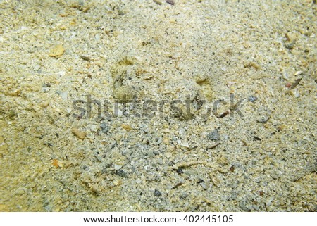Eyes of Yellow stingray, Urobatis jamaicensis, with body hidden in the sand, Caribbean sea - stock photo