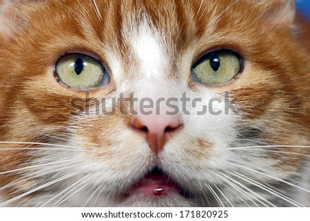 Eyes red-haired cat