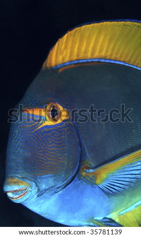 Eyestripe surgeonfish - stock photo